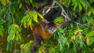 Singe hurleur du Nicaragua - Faune et Flore du Nicaragua