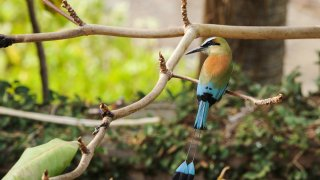 Motmo bleu du Nicaragua - Faune et Flore du Nicaragua